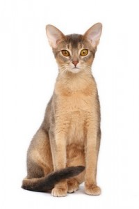 Abyssinian2of2