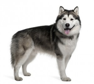 AlaskanMalamute1of2