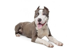 AmericanPitBullTerrer1of2