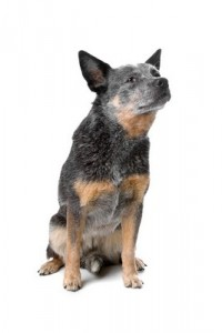 AustralianCattleDog1of1