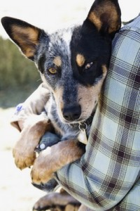 AustralianCattleDog2of2