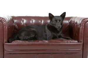 AustralianKelpie2of2