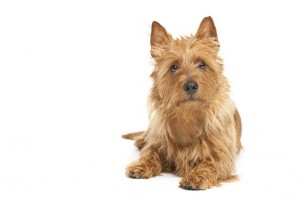 AustralianTerrier1of2