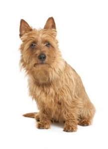 AustralianTerrier2of2