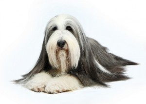 BeardedCollie1of2