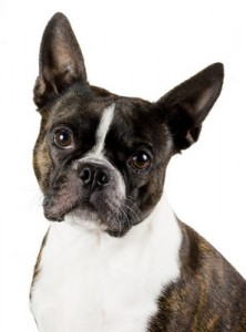 Boston_Terrier_1of2