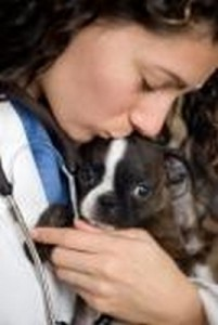 Boston_Terrier_2of2