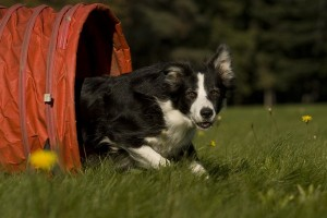 bordercollie3of3