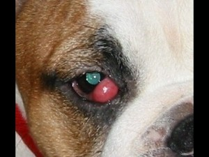 Prolapse of the third eyelid gland (cherry eye).