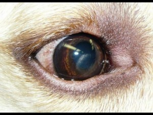 Corneal dystrophy. Note the crystalline deposits on the cornea.