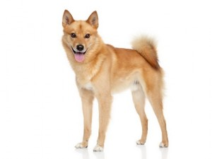 FinnishSpitz1of2