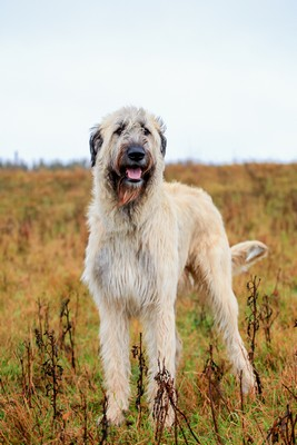 IrishWolfHound1of2