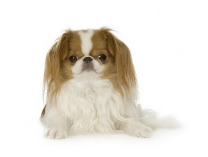 JapaneseChin1of2