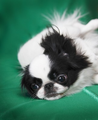 JapaneseChin2of2