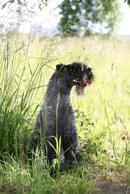 KerryBlueTerrier1of2