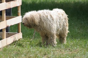 Komondor1of2