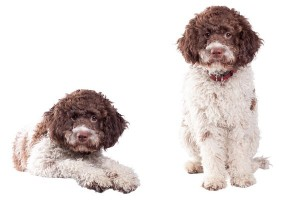 Lagotto2of2