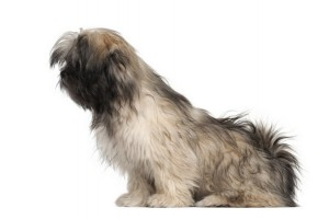 LhasaApso2of2
