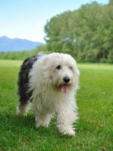 OldEnglishSheepDog1of2