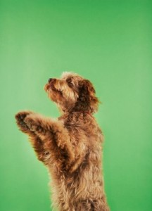 Otterhound2of2