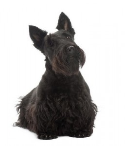 ScottishTerrier2of2