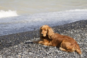Sussex_Spaniel_1of1