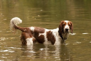 WelshSpringerSpaniel1of2