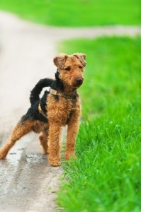 WelshTerrier2of2