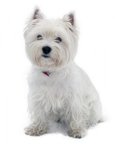 WestHighlandTerrier2of2