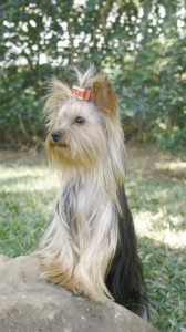 Yorkshire Terrier 1 of 2