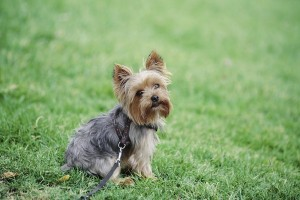 Yorkshire Terrier 2 of 2