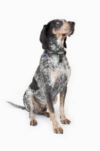 Bluetick Coonhound2of2