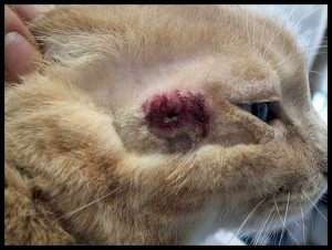 Mast cell tumor on the face of a cat.