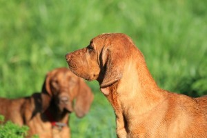 RedBoneCoonhound2of2
